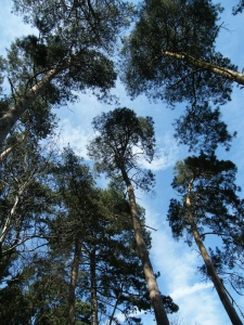 Pine Tar - Pine Trees in Nature Reserve